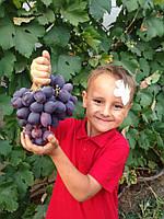 Сажанцы винограда Низина