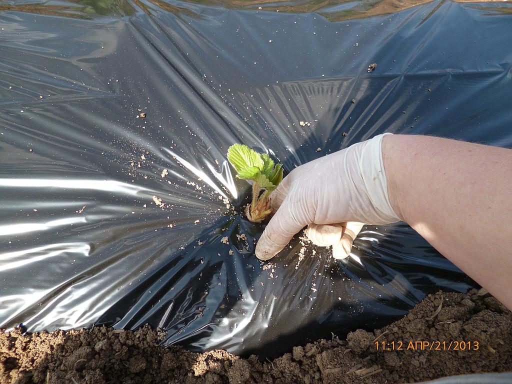 Садим  куст, стараясь  пальцами  аккуратно  уплотнить  землю  вокруг  корней,  хоть  это  не  совсем  просто  под  пленкой.  Но  корни  не  должны  висеть  в  воздухе.