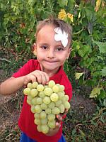 Саженцы винограда Валек