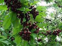 Саженцы черешни Мелитопольская, фото 1