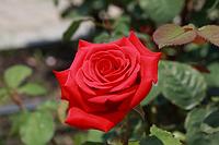 Роза Супер Ред