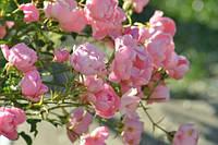 Роза Времена года