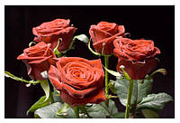 Саженцы чайно-гибридных роз Гран-При