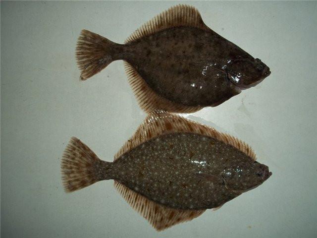 рыба глось фото