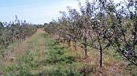 Яблоневый сад, осень 2016.