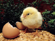 Побутові інкубатори для яєць