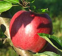 Яблоко Рихард.
