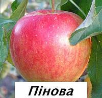 Саженцы яблони Пинова, фото 1
