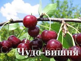 Саженцы вишни Чудо Вишня