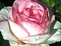 Роза Оноре де Бальзак осень