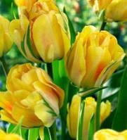 """Тюльпан Махровый  """"Aquilla""""желтый с красными кончиками"""