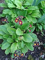 Примула - первоцвет, фото 1
