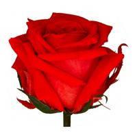 Долгосвежая роза - Алый рубин 7k