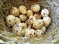 Диетические перепелиные яйца в розницу