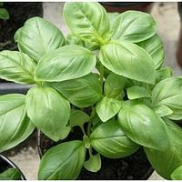 Мистер Барнс семена базилика зеленого Hem Zaden 1 000 г