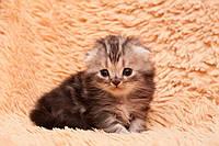 Купить котенка Хайленд фолда