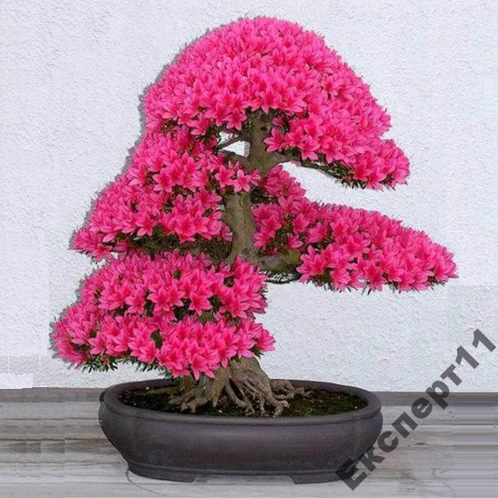 Бонсай японская сакура выращивание из семян 342