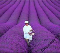 100 семян лаванды прованс / семена лаванды 100 шт