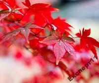 10 семян красного японского клена