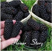 Ежевика 50 семян - вкусная, питательная, сладкая