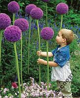 Фиолетовый гигантский Лук Батун - 30 семян