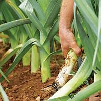 Лук - порей 40 семян / семена лука - порея 40 штук