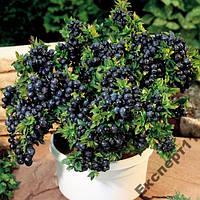 Черника приусадебная - 50 семян