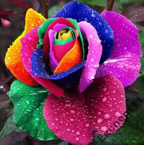 Роза - радуга 20 семян в одном лоте