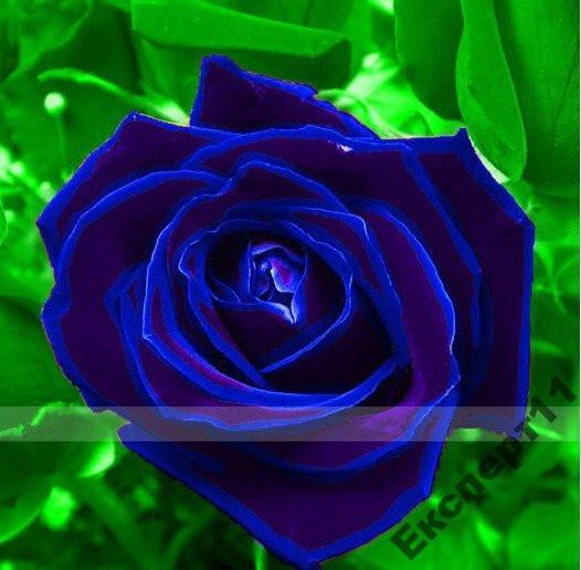 Роза синего цвета - 20 семян