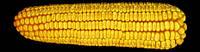 Гибрид кукурузы Солонянський 298 СВ