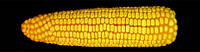 Гибрид кукурузы Белозирский 295СВ