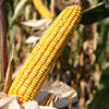 Гибрид кукурузы Подольский 274 СВ