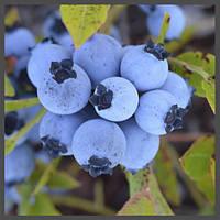Ароматизатор TPA Blueberry (Wild), фото 1