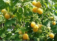 """Саженцы малины """"Желтый Гигант"""""""