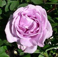 Роза плетистая Блю Мун Вьющаяся (Blue Moon)