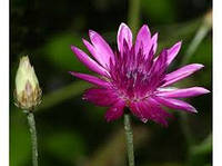 Сухоцвет  (трава),  25 г, фото 1