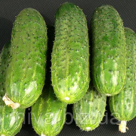 ЗКИ 104 F1 (ZKI 104 F1) семена огурца партенокарп. ультраранний 42 дн Lark Seeds 1 000 семян