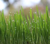 Химическая обработка газона от грибков и сорняков
