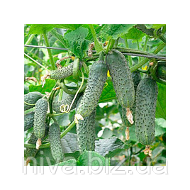 ЗКИ 109 F1 (ZKI 109 F1) семена огурца партенокарп. Lark Seeds 1 000 семян