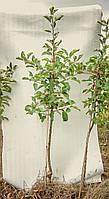 Саженцы яблони карликовые, на подвое м9, однолетние, кронированые