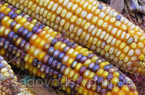 Кукуруза  Осенняя сказка
