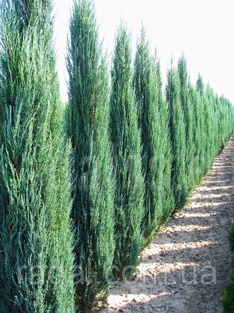 Можжевельник скальный Блю Эрроу  Р9 ( Juniperus scopulorum Blue Arrow )