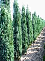 Можжевельник скальный Блю Эрроу  Р9 ( Juniperus scopulorum Blue Arrow ), фото 1