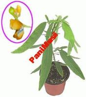 Растение Телеграф Атури цветок который танцует, фото 1
