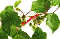 Киви морозостойкое 5шт. семян + подарок инструкция, фото 1