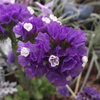 Семена Статицы (кермек) выемчатой пурпурной атракцион 10 г (2500 шт)
