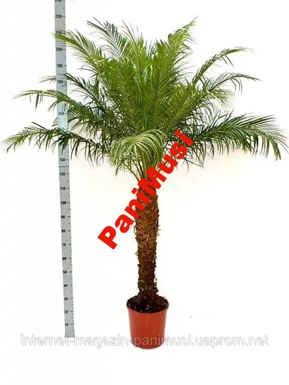 Финиковая пальма Семена +подарок инструкция высева