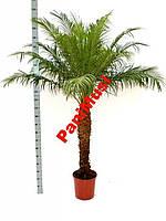 Финиковая пальма Семена +подарок инструкция высева, фото 1