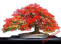 Дерево Огни Африки семена 2шт + подарок инструкция
