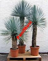 Пальма Морозостойкая Yucca Rigida  семена +подарок, фото 1